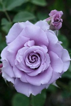 What a beautiful hybrid rose ♡