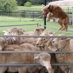 Pure Joy Roly The Sheep Dog Super Star Yarding Up Some Sheep