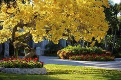 Yellow Tab, my favorite tree!!
