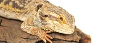 6 Signs of Stress for a Bearded Dragon – Although bearded dragons cannot tell us what's wrong, they do exhibit tell-tale signs for many ailments. It's up to us as their owner to be able to read these signs to figure out what might be …