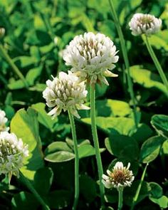 Dutch White Clover: • Great cover crop. It helps the soil rest  rejuvenate. Plant in pockets of bare soil or where you're waiting to plant something. When it's about 1 inch high, till into the soil for a quick nitrogen fix. ºSummer Mar - May
