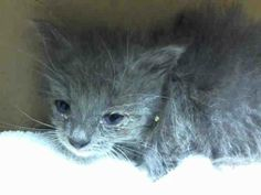 Safe! TO BE DESTROYED 6/25/14 ** Little 4-week old Jerry came in with his mom, Olive Oil (A1003788) and brother, Tom (A1003791). Please foster, adopt or pledge to save this family now! ** Staten Island Center  My name is JERRY. My Animal ID # is A1003792. I am a female gray and white domestic sh mix. The shelter thinks I am about 4 WEEKS old.  I came in the shelter as a STRAY on 06/19/2014 from NY 10309. I came in with Group/Litter #K14-182528.