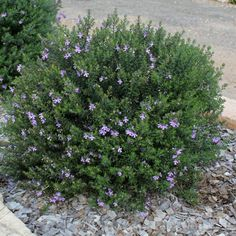 westringia fruticosa blue gem coastal rosemary(1)