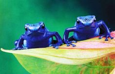 Dang...The sprightly and brightly colored frog may look enchanting, but it can produce enough poison to kill 10 humans. Thriving in humid, tropical environments of Central and Latin America, the poison dart frog oozes black slime from its back, which is actually a neurotoxin used to ward off predators.