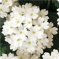 Verbena 'Blush White'