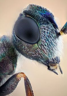 Eupelmid wasp in studio by nikolarahme, Macro Fotografie, Fotografia Macro, Micro Photography, Insect Photography, Microscopic Photography, Cool Insects, Bugs And Insects, Beautiful Bugs, Amazing Nature