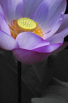 """Lotus Flower - Quase a flor que """"vi"""" abrir-se acima de meu útero quando estava grávida de Marina (nem sabia) e deitei para fazer acupuntura..."""
