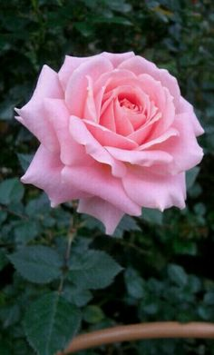 Pretty pink rose at Rose Valley Cameron Highland Pahang Beautiful Rose Flowers, Pretty Roses, Flowers Nature, Amazing Flowers, My Flower, Beautiful Flowers, Purple Roses, Pink Flowers, Rosa Rose