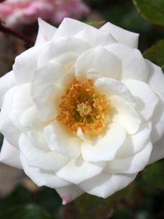 Oderings Garden Centre   Patio Bush Rose - Wendy.