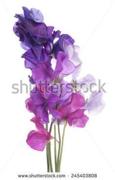 sweet pea flower art - Google Search