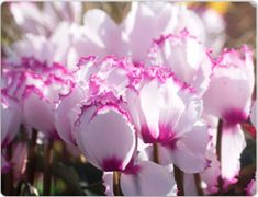 Cyclamen are so beautiful this time of year. Care tips: http://www.houseplant411.com/houseplant/cyclamen-how-to-grow-care-tips