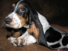 Basset Hound Puppies  Pictures  Country of Origin:  The Basset Basset ('Basset' derives from 'dwarf') was bred at St. Hubert's Abbey i...