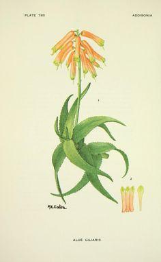 v.24 (1960-1964) - Addisonia : - Biodiversity Heritage Library