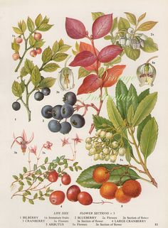 Vintage Botanical Print Antique BLUEBERRY, plant print botanical print, bookplate art print, berries fruit plants plant wall print