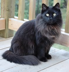 "Black Smoke Maine Coon - I think my Luka is at least PART black smoke Maine Coon!  His ""beard"" is really filling in and looks so handsome!"