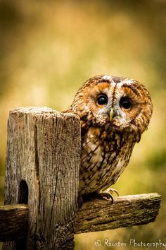 Tawny Owl - A curious Tawny owl poking out from behind a fence post