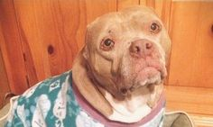 Formerly Abused Pit Bull With No Ears Gets Much-Deserved Second Chance