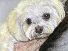 Pastel Drawing - Maltese. $52.00, via Etsy. Want to do this with Jade