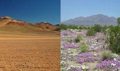 Desierto que fflorece, No se da muy seguido, pero después de una lluvia muy fuerte, algunos desiertos en Chile se llenan repentinamente de flores que mueren al poco tiempo. Es un espectáculo temporal.