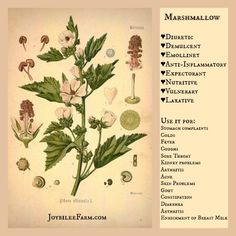 Marshmallow benefits -- Grow marshmallow in your garden for these amazing medicinal actions -- JoybileeFarm.com