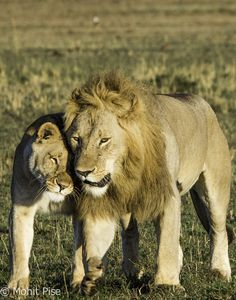 Lion King and Queen by Mohit Pise on 500px