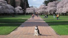 A Dawg's Life: You know it's Spring quarter at UW when the cherry trees are blooming in the Quad.