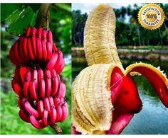 100+ Rare Red Banana Seeds milk taste, delicious fruit seeds