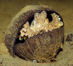Matt Kaplan  for National Geographic News  December 15, 2009    Octopuses have been discovered tip-toeing with coconut-shell halves suctioned to their undersides, then reassembling the halves and disappearing inside for protection or deception, a new study says.