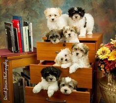 """Click visit site and Check out Best HAVANESE Shirts. This website is excellent. Tip: You can search """"your last name"""" or """"your favorite shirts"""" at search bar on the top. #Abyssinian #Cat Puppies And Kitties, Cute Puppies, Pet Dogs, Animals And Pets, Baby Animals, Cute Animals, Havanese Puppies, Bichon Havanais, Cavapoo"""