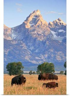 bison on the grassland, Grand Teton National Park, Wyoming. Photo: National Geographic, Drew Rush