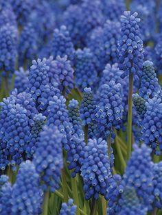 Muscari Blue Magic - NZ Bulbs Blue Magic, Early Spring, Daffodils, Bulbs, Plants, Start Of Spring, Bulb Lights, Daffodil, Planets