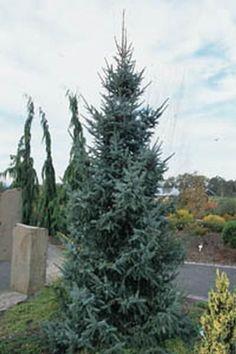Riverside Serbian spruce