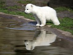 polar bear Knut in berlin zoo born dec 5 2006