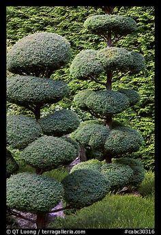 Juniper topiary trees trimed, Japanese Garden. Butchart Gardens, Victoria, British Columbia, Canada (color)