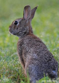 Did you know rabbits are not rodents? 7 more cool things you should know about these critters | Iowa DNR