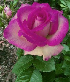 Beautiful Flowers Wallpapers, Beautiful Rose Flowers, Exotic Flowers, Amazing Flowers, Pretty Flowers, Lavender Roses, Purple Roses, Rosa Rose, Coming Up Roses