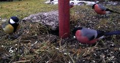 The tits chickadees and titmice constitute the Paridae a large family of small passerine birds which occur mainly in the Northern Hemisphere and Africa. Parus Major, Africa, Birds, Nature, Animals, Image, Trail Camera, Chickadees, Search