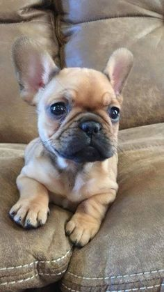 The major breeds of bulldogs are English bulldog, American bulldog, and French bulldog. The bulldog has a broad shoulder which matches with the head. Cute Baby Dogs, Cute Dogs And Puppies, Cute Baby Animals, I Love Dogs, Animals And Pets, Funny Animals, Doggies, Cute French Bulldog, French Bulldog Puppies