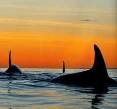 Whales at Sunset...beautiful.  Looks like a scene from our Pacific Northwest!