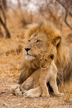 Male lion and cub | nature | | wild life | #nature #wildlife  https://biopop.com/