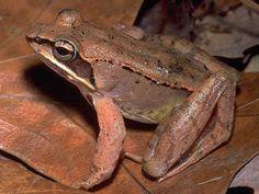 Wood frog © Ian Ives, Mass Audubon