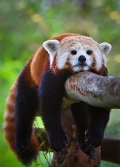 ~~Just Hanging Out ... - Red Panda Cub resting on a branch after running around and around and around :-) by Renee Doyle~~