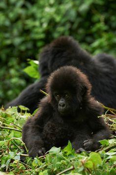 Young mountain gorilla, Rwanda, by Thierry Riols Primates, Mammals, Ape Monkey, Monkey Girl, Cute Baby Animals, Animals And Pets, Funny Animals, Silverback Gorilla, Gorilla Trekking