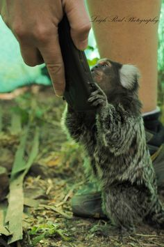 Primates: The Fearless Science of Jane Goodall, Dian Fossey, and Biruté Galdikas Marmoset Monkey, Dian Fossey, Jane Goodall, Orangutan, Primates, A Funny, South Africa, Reflection, Wildlife