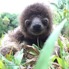 100 Unbearably Cute Sloth Pics To Celebrate The International Sloth Day Cute Baby Sloths, Cute Baby Animals, Animals And Pets, Funny Animals, Baby Sloth Pictures, Cute Animal Photos, Animal Pictures, Cute Creatures, Cool Pets
