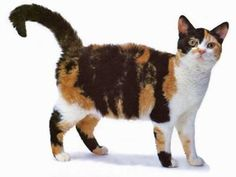 American Wirehair Cat. This is a rare type of cat with a wiry, curly coat. There are apparently fewer than 30 registered of this breed.