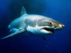 Do Sharks Really Not Get Cancer? The Answer is No! I knew the peer reviewed literature suggested the supplement was not worthwhile but I hadn't seen evidence that sharks do get cancer.