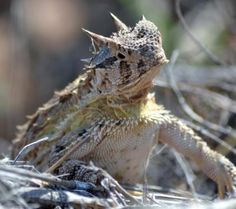 """Texas """"horny toad"""".  I miss these little critters - haven't seen one in years!"""