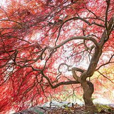 Japanese Maple: Spectrum for the Seasons