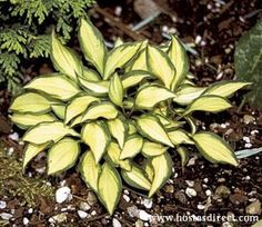 Hosta 'Cat's Eye' Mini Hosta